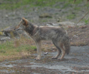 Coyote seen on Fox Island in 2016